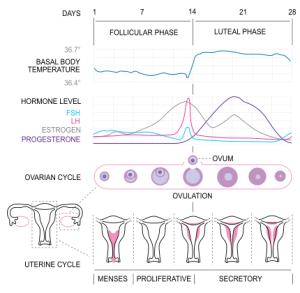 Ovulation and menstrual cycle